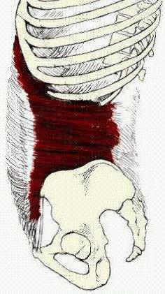 Εικ. Εγκάρσιος κοιλιακός (προσφύεται στο μέσο και οπίσθιο τμήμα της θωρακοοσφυικής περιτονίας)